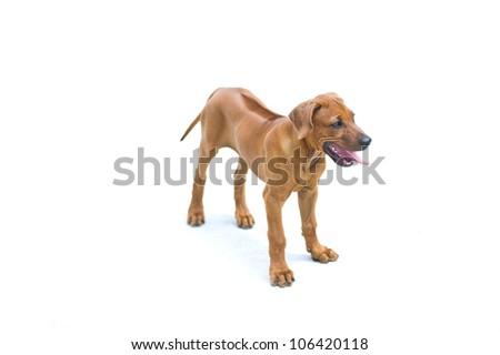 Beautiful dog rhodesian ridgeback puppy isolated on white - stock photo