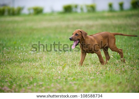 Beautiful dog rhodesian ridgeback puppy playing outdoors - stock photo