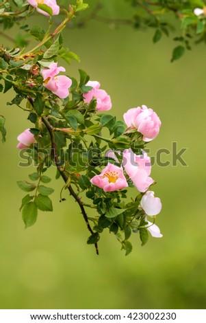 Beautiful dog rose flowers (Rosa canina) - stock photo