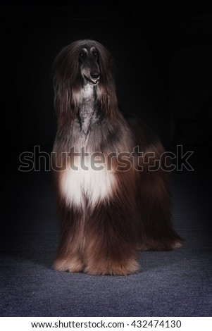 beautiful dog, the Afghan stands on a black background and looks
