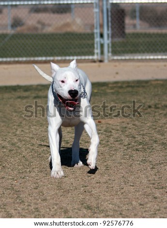 Beautiful Dogo Argentino (Argentine Mastiff) strolling through the dog park - stock photo
