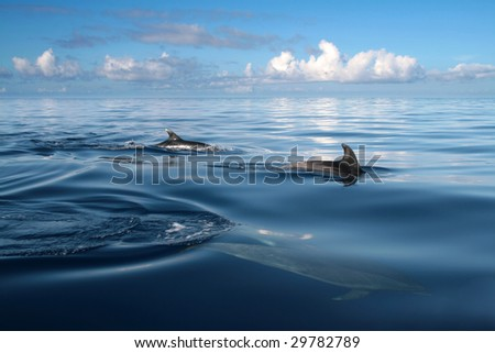 beautiful dolphins in the ocean, nature photo - stock photo