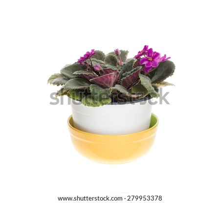 Beautiful domestic violet flowers in white ceramic pot. Isolated on a white background.