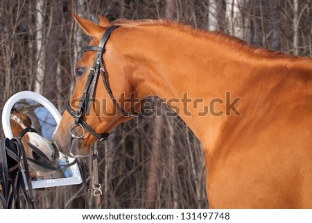 Beautiful Don horse sees herself in the mirror - stock photo