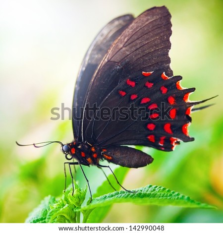 Beautiful dot tropical butterfly on green leaf - stock photo