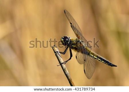 Beautiful dragonfly. Macro shot of nature. Libellula depressa. Nature. Insects up close.  - stock photo