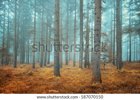 Beautiful dreamy conifer forest. Color filter effect used. - stock photo
