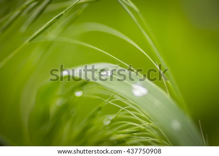 Beautiful drops of dew on the tips of young lawn create a stunning picture