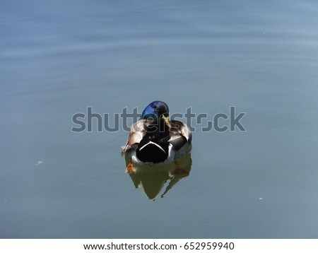 Beautiful duck in summer