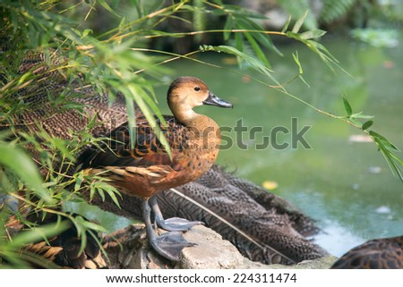 Beautiful duck standing next the pond. - stock photo