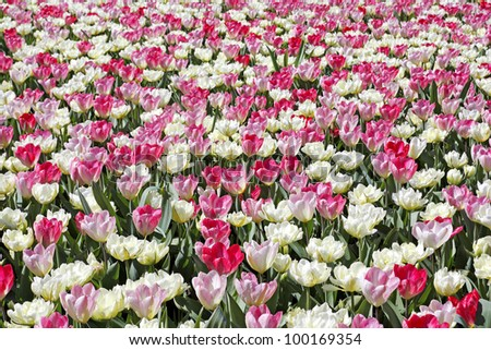 Beautiful Dutch tulips in pink and white shades in a field. - stock photo