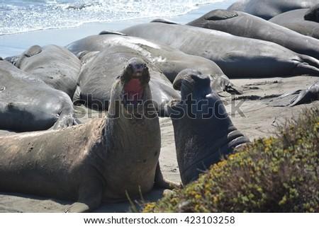 Beautiful eared seal ( sea lion) in California  - stock photo