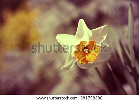 Beautiful Easter daffodil flower in Spring - stock photo