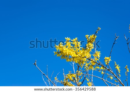 Beautiful easter forsythia flowers on blue sky background. - stock photo