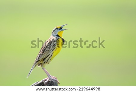 Beautiful Eastern Meadowlark male perched on a fence post singing - stock photo