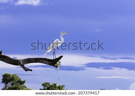 Beautiful Egret (Ardea alba) on the tree in Pantanal, Brazil