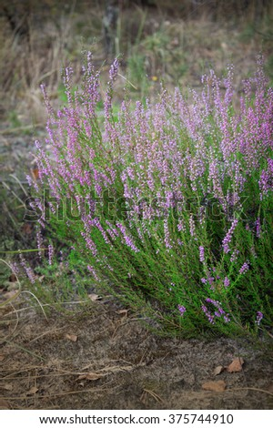 Beautiful elegant bundle of delicate openwork soft mauve ericaceae, delicate web of braided in a forest glade autumn morning. View close-up with space for text on gray ground backdrop - stock photo