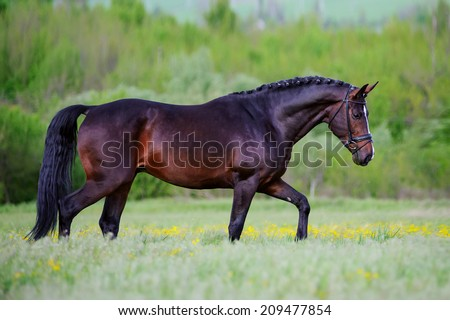 Beautiful elegant stallion sporting breed bridle with braided mane walks step on a background of green field - stock photo