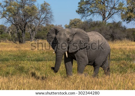 Beautiful elephant in Khwai Conservation Area in Botswana, Africa