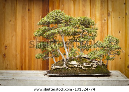 Beautiful Elm Bonsai Tree Forest Against Wood Fence. - stock photo