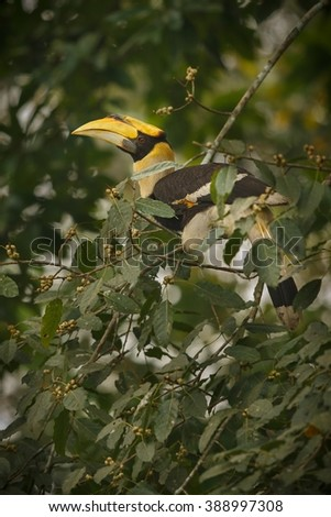Beautiful endangered great hornbill on a tree in Kaziranga, India / Beautiful endangered great hornbill on a tree in Kaziranga, India / Beautiful endangered great hornbill on a tree in Kaziranga,India - stock photo