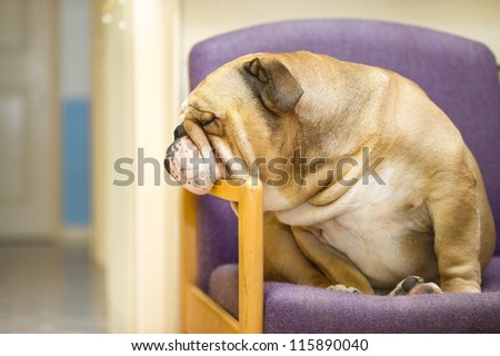 Beautiful English Bulldog dog having a rest in an armchair