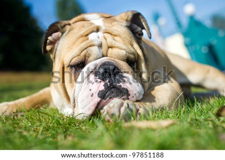 Beautiful english bulldog on a rock