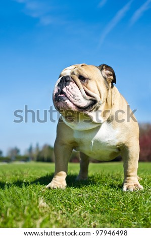 Beautiful english bulldog on a rock - stock photo