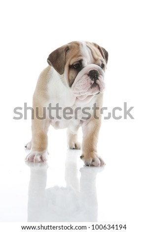 Beautiful English bulldog puppy isolated