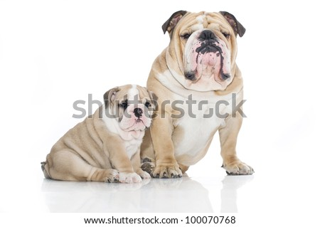 Beautiful english bulldog puppy with father isolated - stock photo