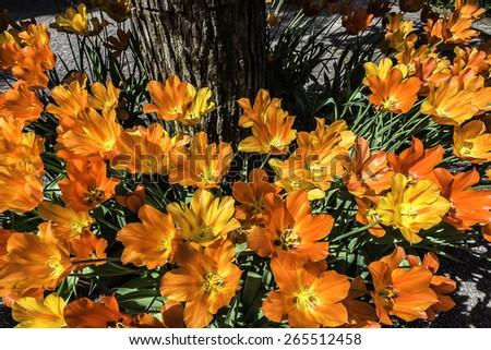 beautiful english garden with close up of beautiful orange geranium flowers - stock photo