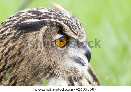 Beautiful Eurasian eagle-owl (bubo bubo)