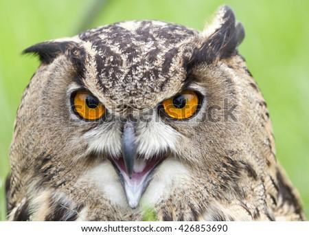 Beautiful Eurasian eagle-owl (bubo bubo)  - stock photo