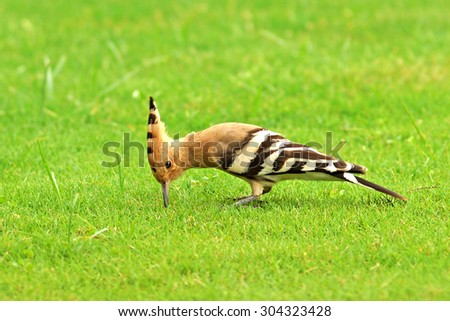 beautiful eurasian hoopoe (Upupa epops) - feeding on insects