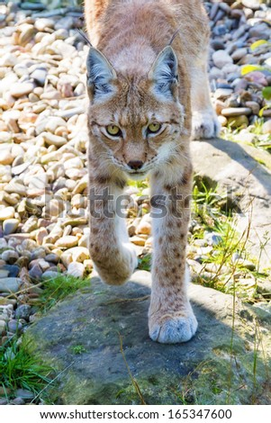 Beautiful Eurasian lynx (Lynx lynx) on a bright and sunny day in a green field - stock photo