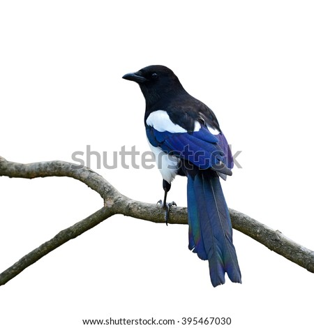 Beautiful Eurasian magpie, European magpie, Common magpie (Cyanopica cyanus) perching on a branch, white background