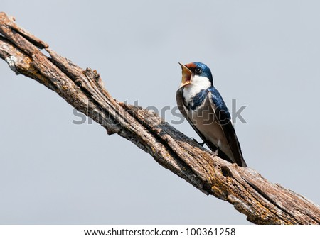 Beautiful european swallow signing against nice blue background