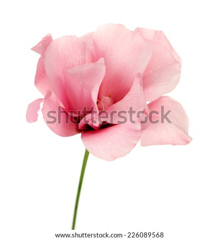 Beautiful eustoma flower isolated on white - stock photo