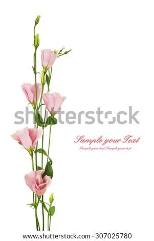 Beautiful eustoma flower isolated on white - stock photo