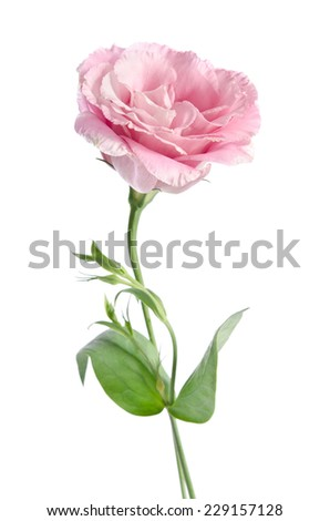 beautiful eustoma flower with leafs and buds on white background. Studio foto - stock photo