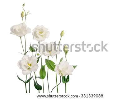 Beautiful eustoma flowers isolated on white background  - stock photo