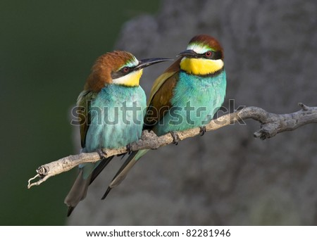 Beautiful exotic bird couple (bee-eater)