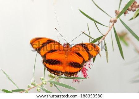 Beautiful exotic butterfly - feeding on flowers - stock photo
