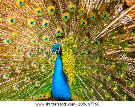 Beautiful exotic peacock  - stock photo