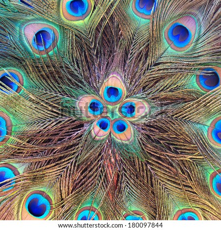 Beautiful exotic peacock feathers on background bird tropical green vivid. - stock photo