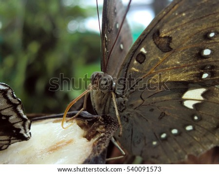 Beautiful exotic rare butterfly in Malaysian jungle