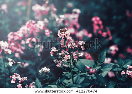 Beautiful fairy dreamy magic red pink flowers with dark green leaves, toned with instagram filter in retro vintage washed out pastel, soft selective focus, lens sun flare, copyspace - stock photo