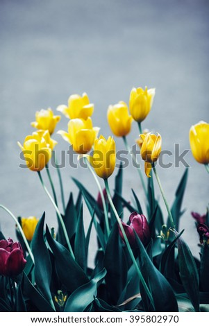 Beautiful fairy dreamy magic yellow purple tulip flowers with dark green leaves, toned with instagram filters in retro vintage style, soft selective focus, copyspace for text - stock photo