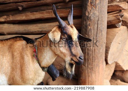 Beautiful family of goats in the village. A goat with kids. Animal in Chiangmai Province, Northern Thailand. - stock photo