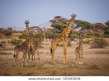 Beautiful family of young giraffes in Kilimanjaro - stock photo
